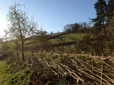 Midland style hedge in spring
