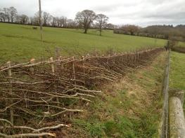 mixed midland hedge