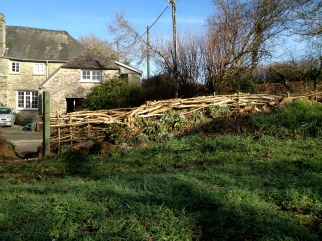 hazel hedge restoration