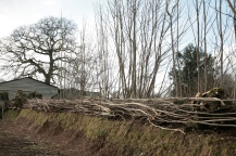Devon style hedge laying