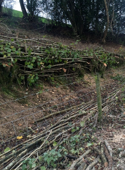 A section of laid hedge