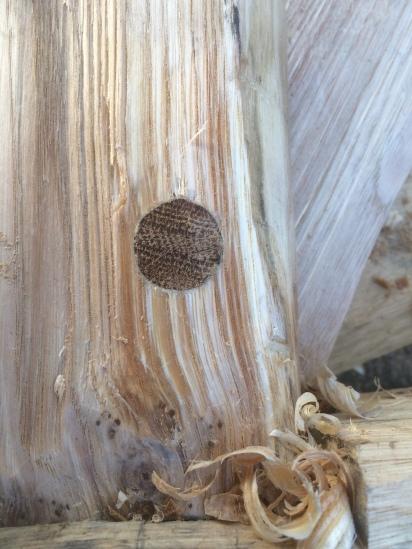 wedged oak peg in green chestnut